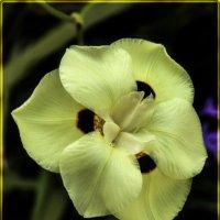 Орхидея :: susanna vasershtein