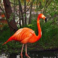 Фламинго :: Марина Назарова