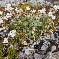Цветы на камне :: LENUR Djalalov