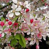 яблони в цвету :: Александр Корчемный
