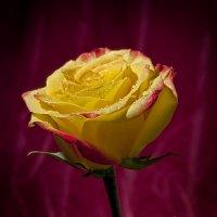 желтая роза :: Денис Мясников