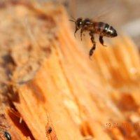 Пчела в полёте! :: Елена