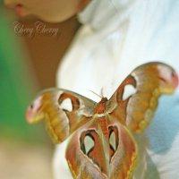 африканская бабочка :: Алёна ChevyCherry