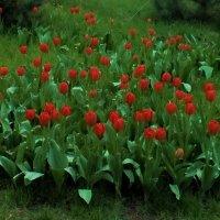 Тюльпаны :: Дмитрий