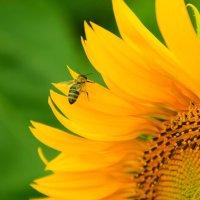 Подсолнух и пчела :: Nataliya Oleinik