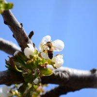пчелка :: Николай Кисель