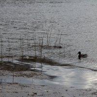 Об утке в вечерней воде :: Татьяна Копосова