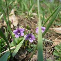 Первые лесные весенние цветы :: Анатолий Кузьмич Корнилов