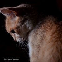 Фотосет кошки 2 :: Владимир Самышев