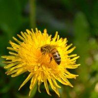 Одуванчик и пчела :: Мария