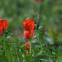 Апрельские тюльпаны. :: ФотоЛюбка *