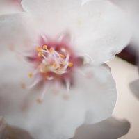 цветок вишни :: Юлия Гончарова