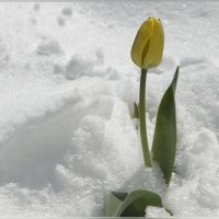 Тюльпан на снегу :: galina tihonova