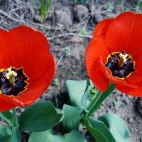 Тюльпаны :: Анна Чигряй