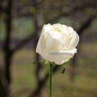 Белая роза :: Aнна Зарубина