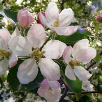 Будут яблоки :: Александр Скамо