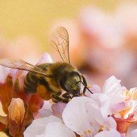 Пчёлка :: юрий Амосов