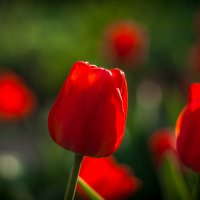 тюльпан :: Alina Grib