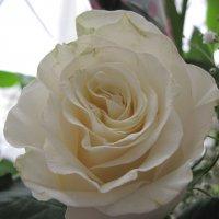 Rose :: Ольга Иргит