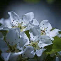 Цветочки груши :: Татьяна Кретова