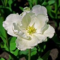 Белый тюльпан :: Nataliya Oleinik