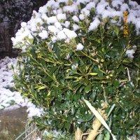 Зима в Чемитоквадже.Самшит. :: Маргарита Сазонкина