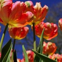 Краски тюльпанов :: Nataliya Oleinik