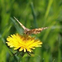 Бабочка :: Владимир Боровков