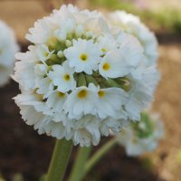 цветок :: Виктория Альшанец