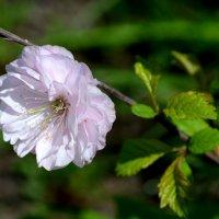 Китайская роза :: Виктория Гавриленко