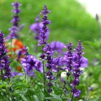Фиолет... :: Игорь