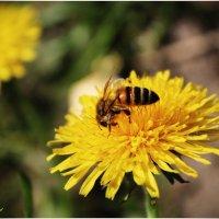 Пчела и одуванчик :: Евгений Кочуров