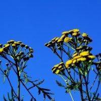 пижма цветет :: gribushko грибушко Николай
