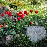 Красные тюльпаны у камня. (типа, Альпийская горка). :: Nonna