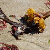 морские водоросли на пляже после отлива :: Елена Мартынова