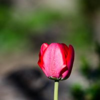 Tulipa :: Katrin Tararak