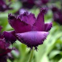 тюльпаны 1 :: Igor Osh