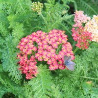 голубая бабочка :: Natalya секрет