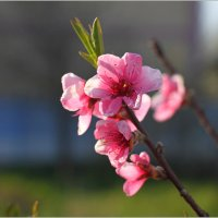 Цветки персика :: Леонид Дудко