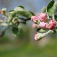Скоро яблоня зацветет :: Яна Меркулова