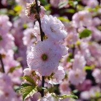 Весеннее цветение :: Юлия Микшина