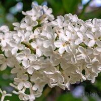 Весенний аромат... :: Елена Васильева