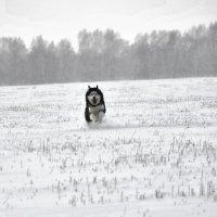 По снегу, по белому снегу.... :: Сергей Корзенников