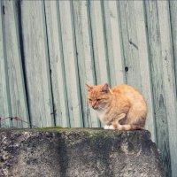 Просто кот... :: Лена L.