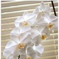 Архидеи :: Владимир Орлов