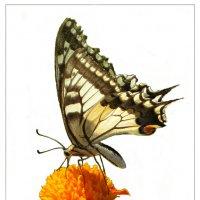 Бабочка :: Владимир Орлов