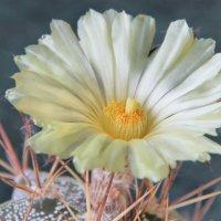 цветок  астрофитума (Митра епископа) :: Николай Ковтун