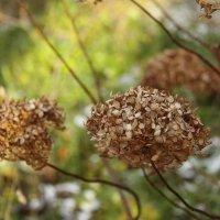 Цветы осени :: Oly Andreeva