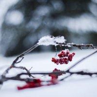 Рябина Зимой :: Victor Lysenko