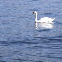 Белый лебедь :: Елена Плаксина